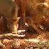Ular sawa mati diserang babi hutan