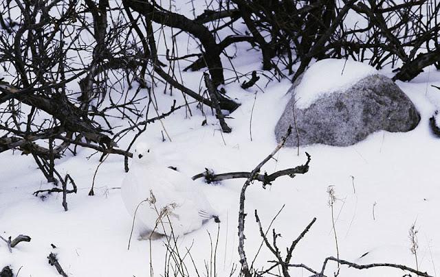 Lagópode-escoces - Lagopus lagopus