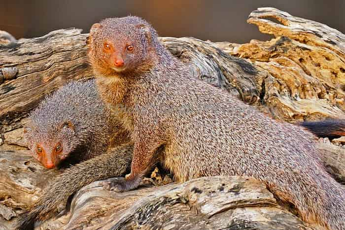 Mongoose Family in Ranthambore