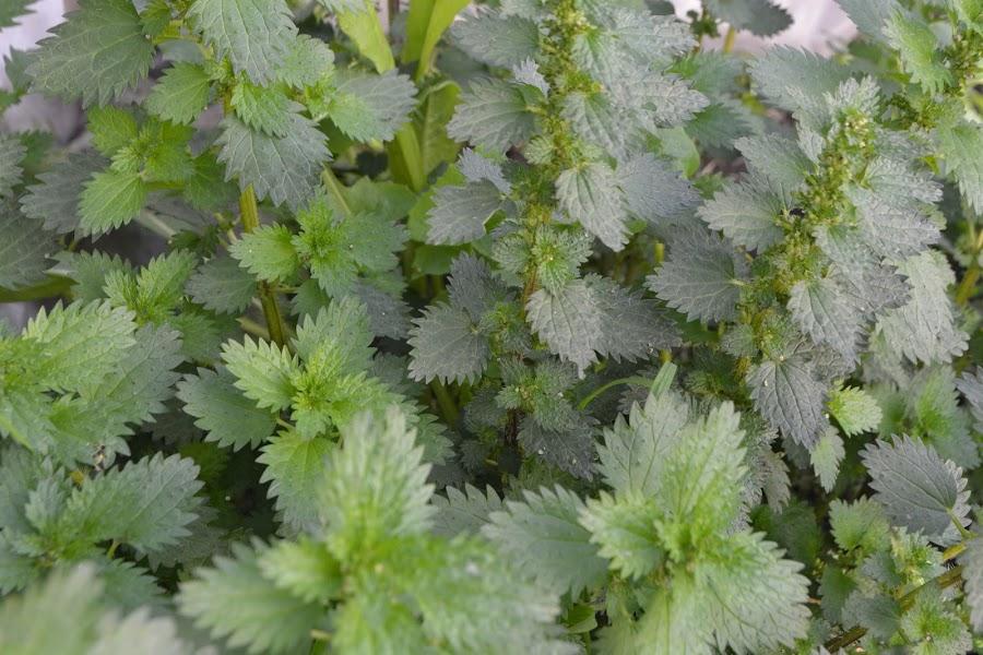 Ortiga. Urtica urens. Crece entre el pasto. Comestible, propiedades y purín de ortigas para fumigar la huerta..
