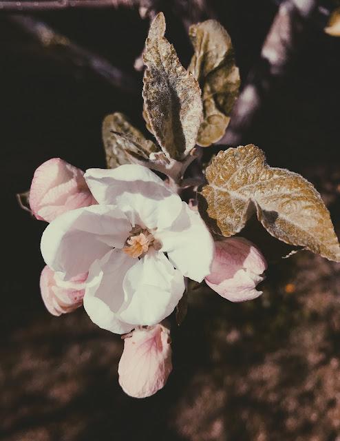 omenapuut kukkivat