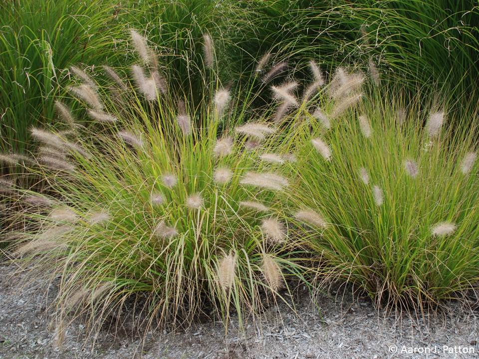 Purdue Turf Tips Weed Of The Month For June 2013 Is Fountain Grass