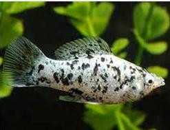 molly Ikan Hias Air Tawar Yang Bisa Dicampur Pada Satu Akuarium