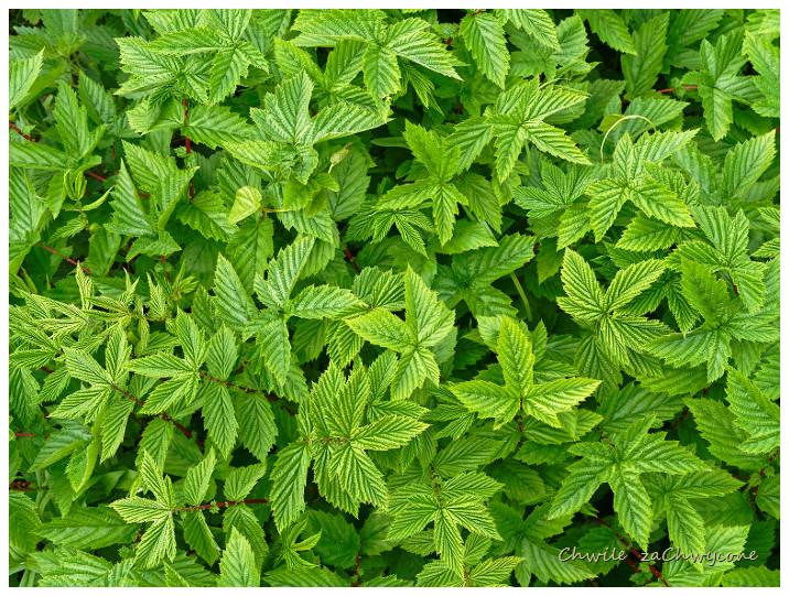 wiązówka błotna Filipendula ulmaria liście