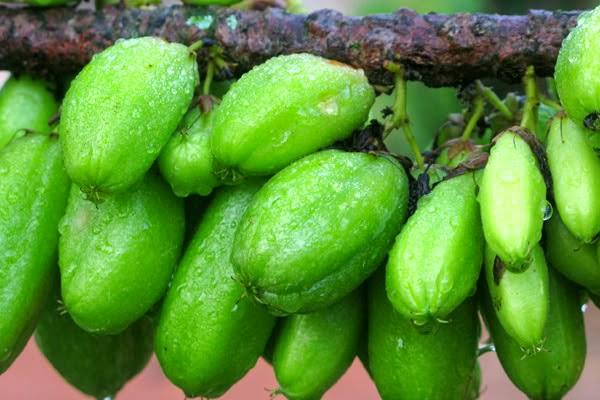 Manfaat Buah Belimbing Besi Bagi Kesehatan Tubuh, khasiat buah belimbing besi untuk kesehatan