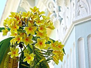 Bunga kamboja kuning paling harum
