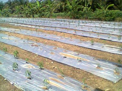 Manfaat Budidaya Cabai Menggunakan Plastik Mulsa