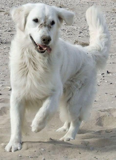 See more White Golden Retriever Puppy http://cutepuppyanddog.blogspot.com/