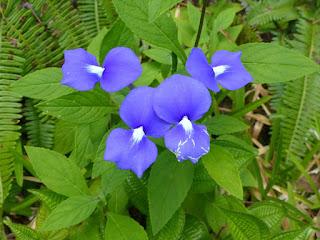 Otacanthe bleue - Zerbe cirage - Achetaria azurea - Otacanthus azureus
