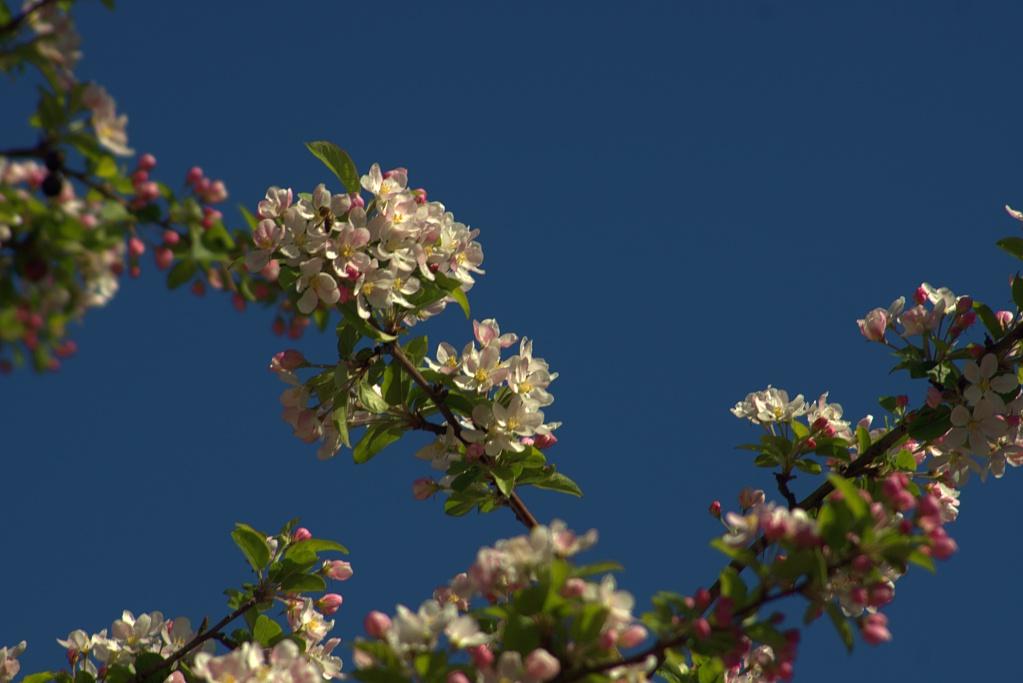 #274 Kiron Macro f3.8-f5.6 28-210mm - 1€ Projekt - Wildapfelblüte
