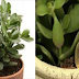 """""""Money Plant"""" That Attracts Fortune Into Your Home"""