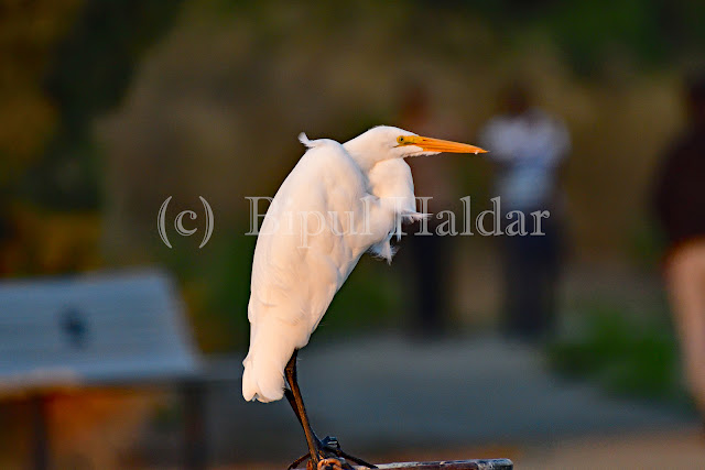 Great Egret Resting