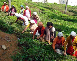 Darjeeling tea garden workers
