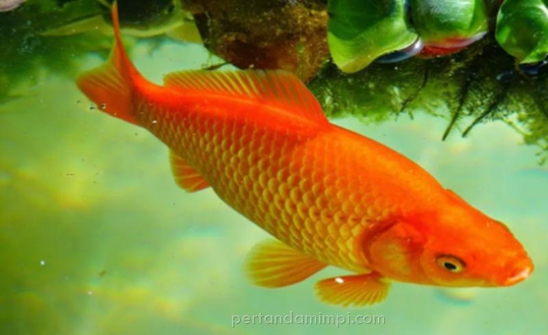 Download 8100 Koleksi Gambar Ikan Mas Dalam Togel Terpopuler