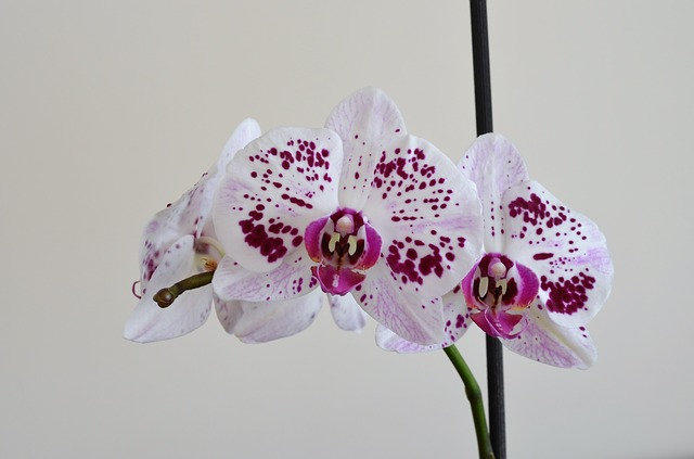hoa lan hồ điệp đẹp 5