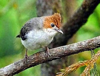 Mengetahui Lebih Dekat Burung Yuhina DI Habitat Aslinya Alam Bebas