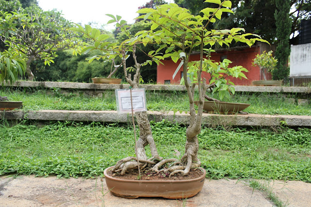 Bonsai tree sale in bangalore dating. Dating for one night.
