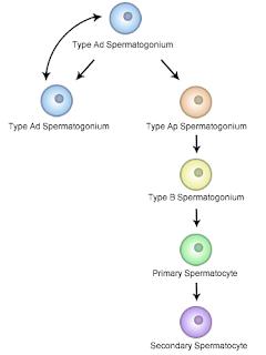 精母細胞の有糸分裂期