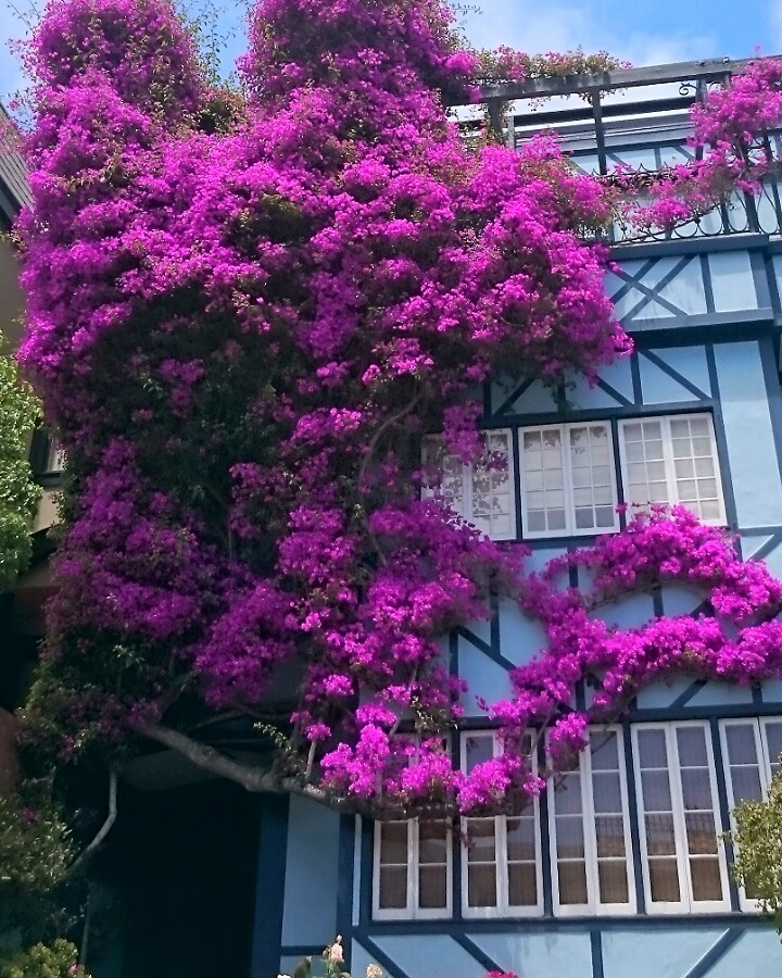 Dream house covered in bougainvillaea flowers