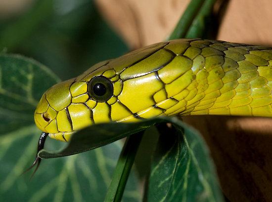 змея содержание мамба