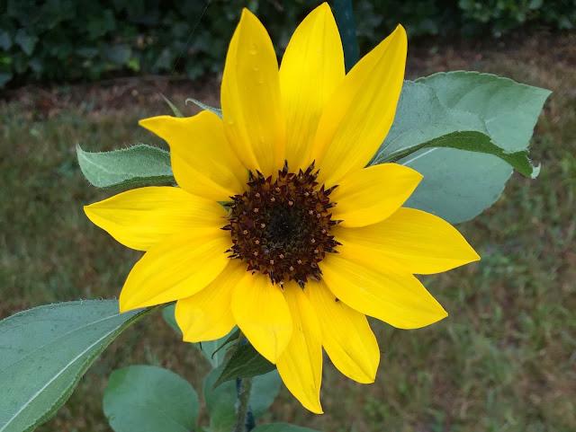 Sonnenblume blüht
