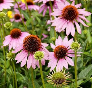 Flores de la equinacea, Fichas de Plantas
