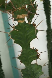 Euphorbe corne de vache - Euphorbia grandicornis - Euphorbe à grandes cornes