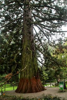 Mammutbaum auf der Insel Mainau