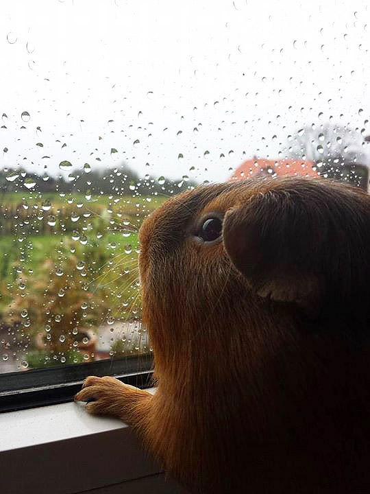Grappige cavia foto's: Een cavia kijkt naar buiten door het raam
