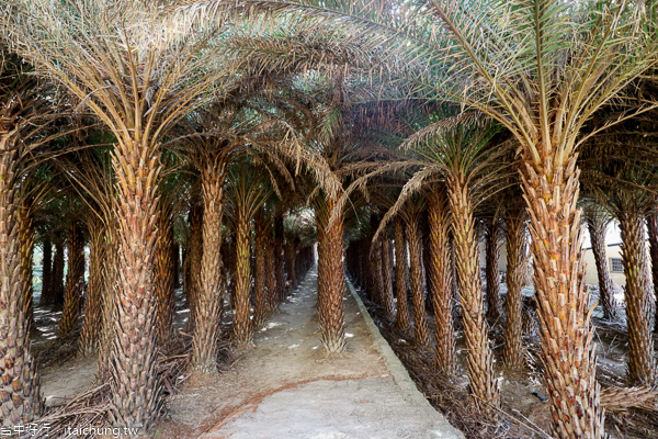 台中大肚中東海棗田、落羽松森林,壯觀挺拔又整齊像隧道,漂亮好拍