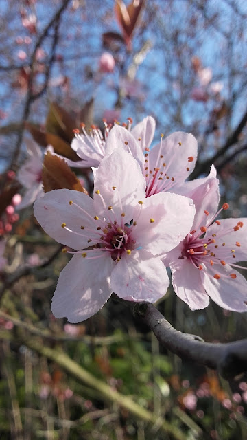 fleur-de-cerisier-sauvage.jpeg