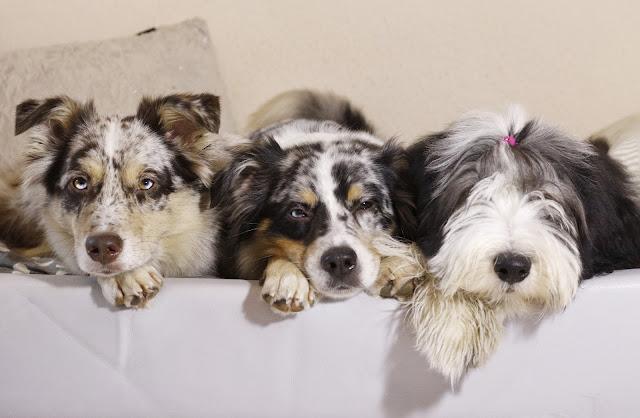 Mehrhundhalter, Rudel, Australian Shepherd, Hundeblog