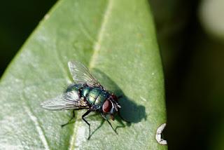 tips ampuh mengusir lalat rumah