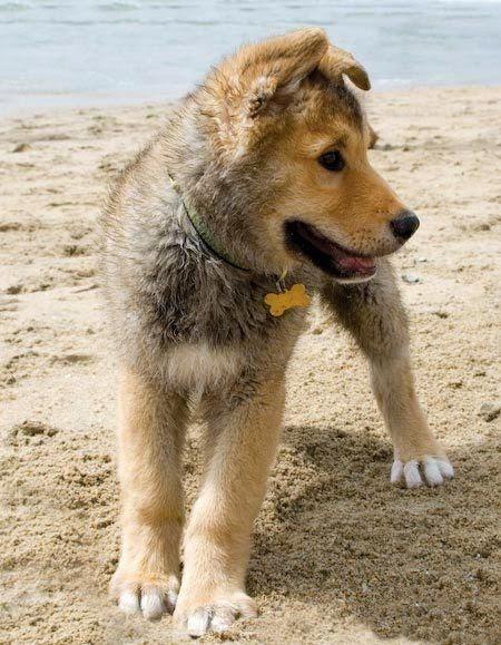 Cute Husky Golden Retriever Mix Puppy in Beach