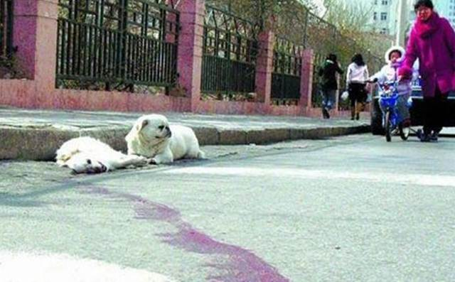 anjing setia