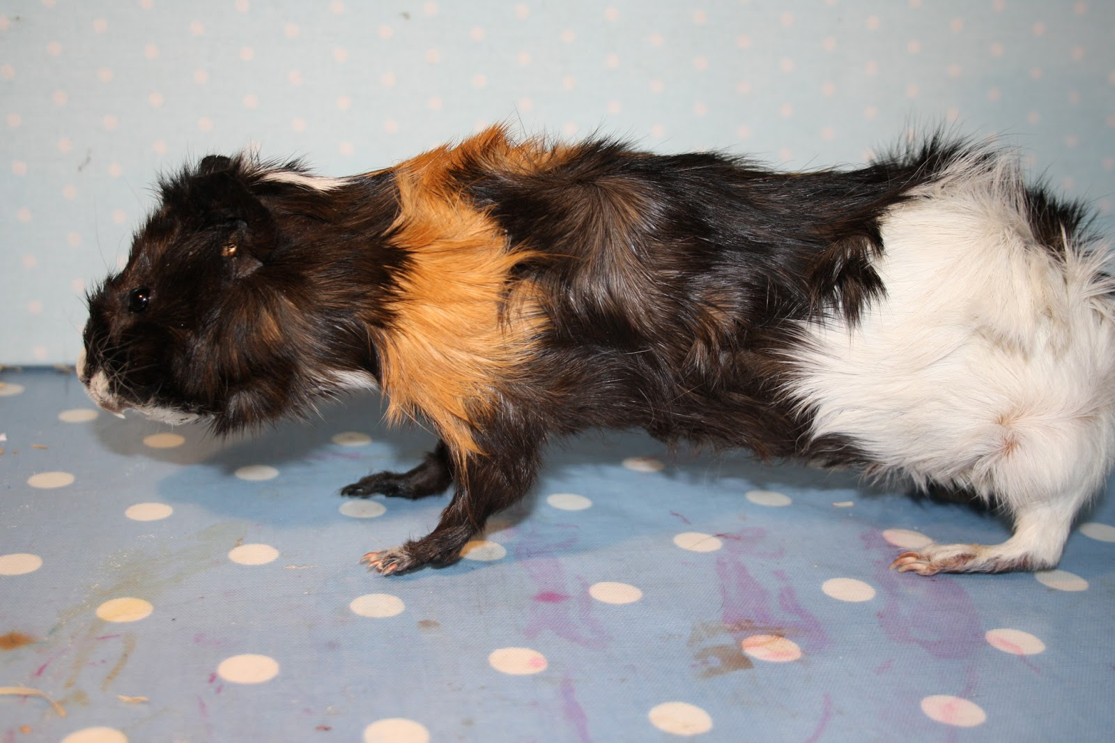 hight resolution of this is my first guinea pig i am not even certain i have actually ever seen an actual living one they are weird and massive i am not sure i am a fan