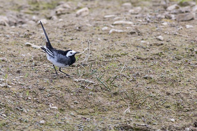 Tails Up - Pied Wagtail
