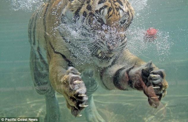 http://loverlem.blogspot.com/2017/10/mistis-manusia-harimau-cerita-misteri.html
