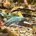 Indian Pitta (Sunbath)