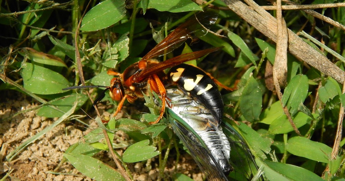 capital naturalist by alonso abugattas cicada killers or cicada hawks. Black Bedroom Furniture Sets. Home Design Ideas