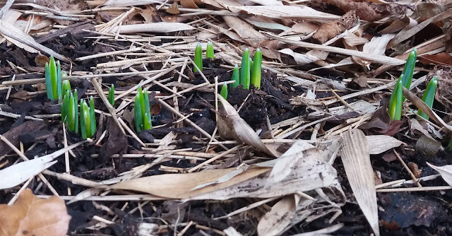 first signs of snowdrops - www.growourown.blogspot.com