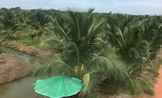 industri kelapa muda thailand dengan benih unggul dan seragam