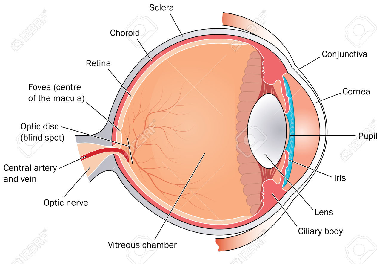 hight resolution of chris campbell watercolors painting eyes rh dearingcampbell blogspot com human eye diagram without labels human eye diagram without labels