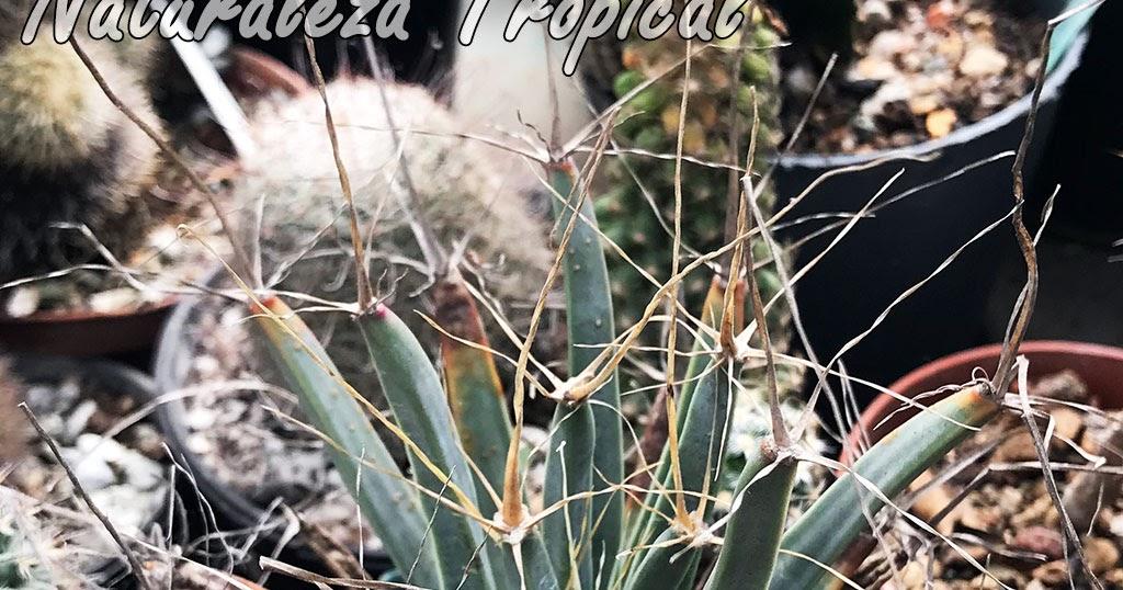 Naturaleza tropical conoce todo sobre el cactus agave for Informacion sobre el cactus