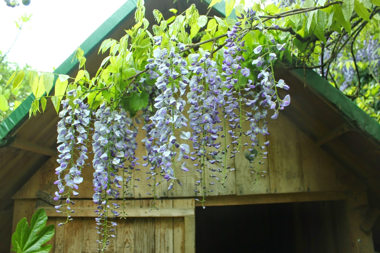 Wisteria over the hen house door in an organic garden