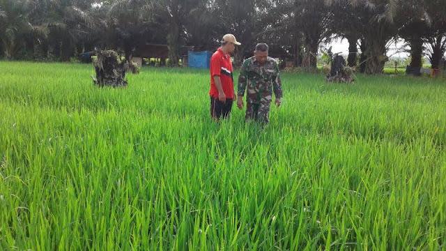 Anggota Babinsa bersama Petani Lakukan Pengecekan Hama Padi di Desa Tanjung Muda