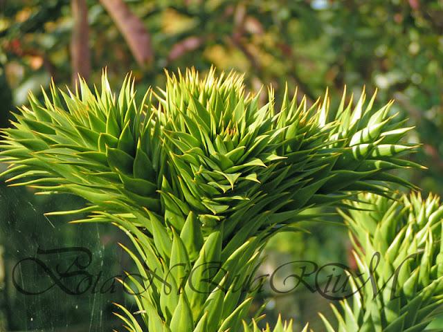 Botaniquarium - Araucaria araucana terminal buds