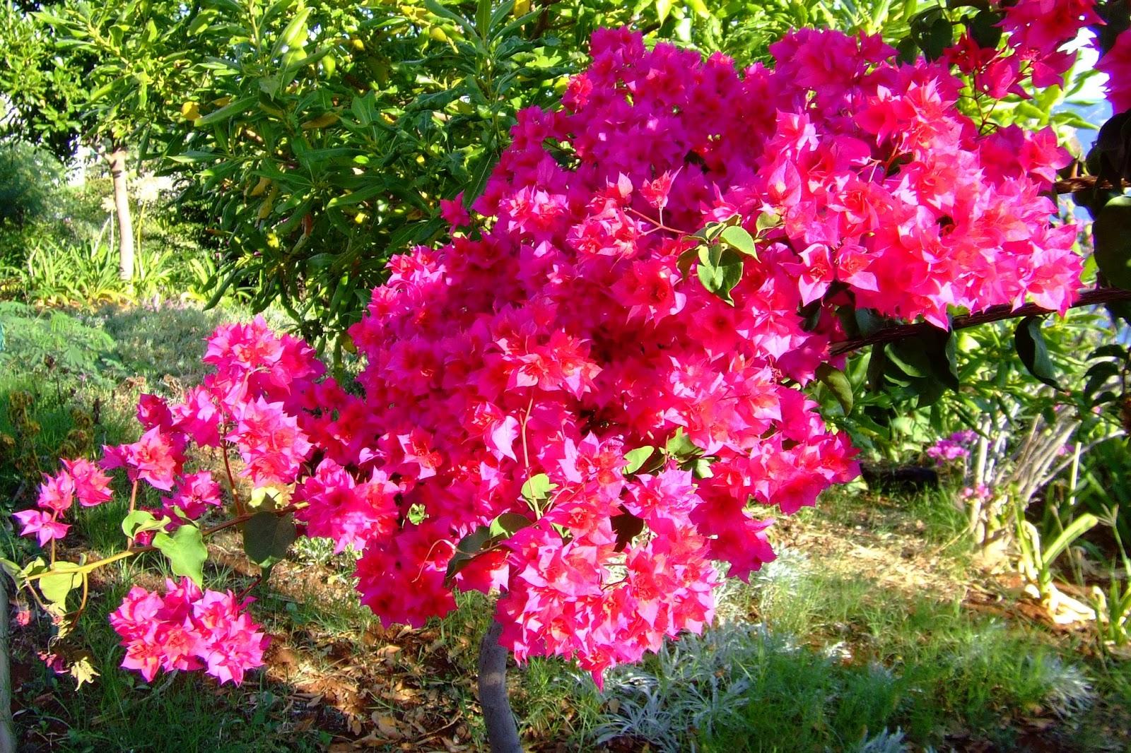 Trees Planet: Bougainvillea glabra - Paper Flower - Lesser ...