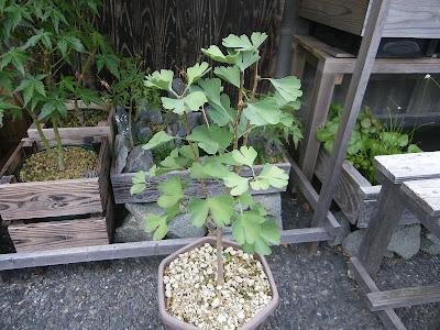 イチョウの鉢植え