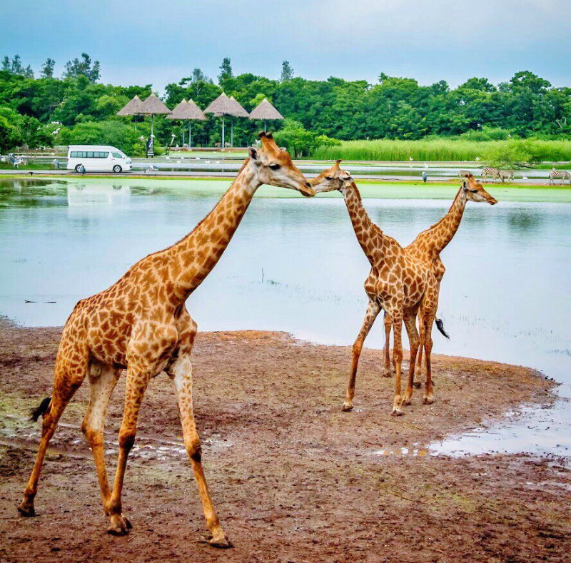 Giraffes in Safari Park in Bangkok